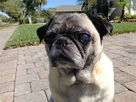 pug eye infection enucleation the pug