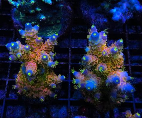 How To Grow The Most Colorful Sps Corals Basics Marquee