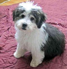 lowland sheepdog puppies 1000 ideas about lowland sheepdog on sheepdog breeds