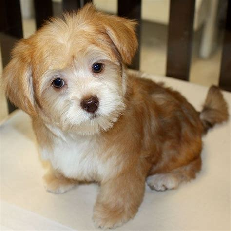 morkie haircut styles morkie puppies haircuts zoe fans blog cute baby