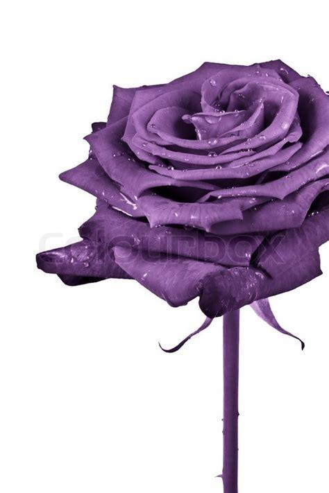 Anting Flower Petals Violet Soft Purple up of violet petals stock photo colourbox