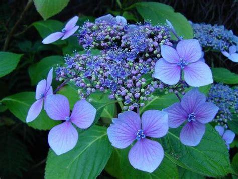 flower homes hydrangeas flowers