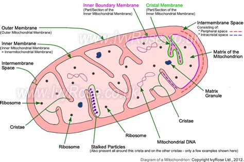 mitochondrion diagram the smallest members of our physical selves cells