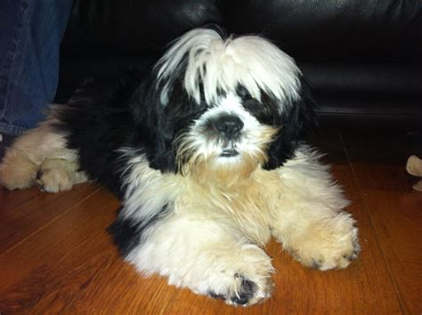 lhasa apso puppies for adoption beautiful lhasa apso available for adoption farnborough hshire pets4homes