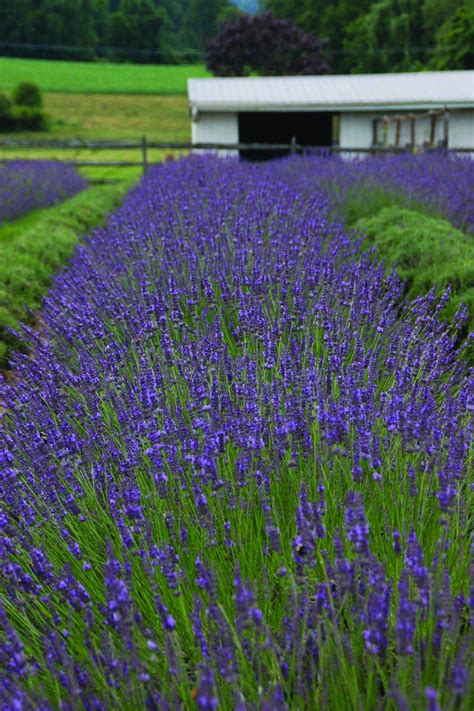 growing lavender hgtv