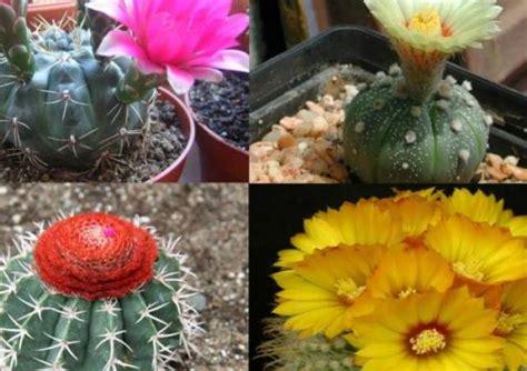 Kaktus Hias Tanpa Media jenis kaktus yang populer dijadikan tanaman hias viva