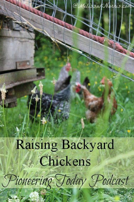 how to raise laying hens in your backyard podcast episode 29 raising backyard chickens melissa k