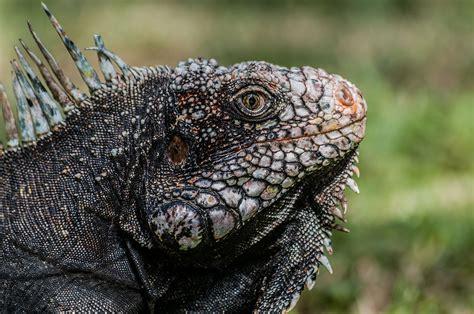 Iguana L iguana iguana wikip 233 dia
