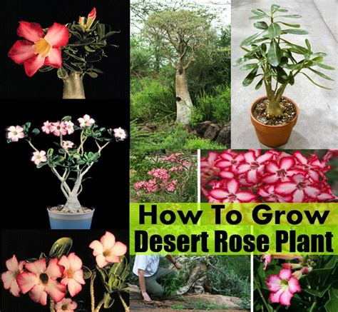 how to grow desert rose plant diy cozy home world home