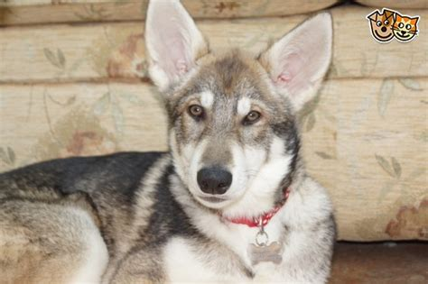 utonagan puppies for sale 10 month utonagan for sale wolf like andover hshire pets4homes