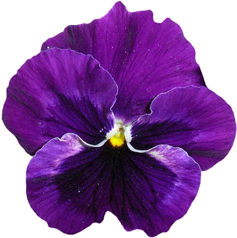 viola fiore immagini foto gratis pansy viola fiore primavera