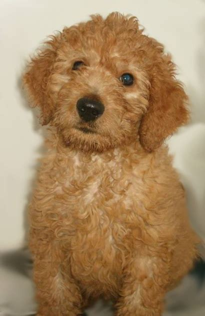 goldendoodle puppy barking goldendoodle the retriever wildlife