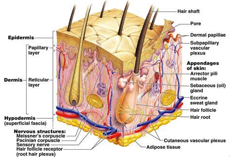 diagram of the dermis 15 best images of dermis layer diagram integumentary