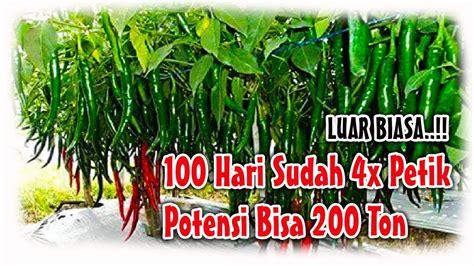 Pupuk Cabai pupuk tanaman cabai cara meningkatkan panen cabai sai
