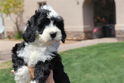portuguese water for sale portuguese water puppies for sale in apache junction arizona classifieds ksl