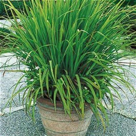 green lemon grass for mosquito repellent potted plant arrangement garden pinterest