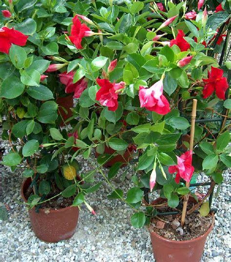 sundaville fiore piante da vaso dipladenia dipladenia boliviensis