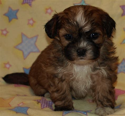 shih tzu teddy mix shih tzu mix puppies for sale zuchon shichon teddy shorkie puppies