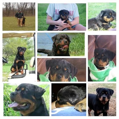 rottweiler puppies for sale in washington gus vom keiser wappen a quot gero quot max terezsky dvur grandson on his tv debut in a