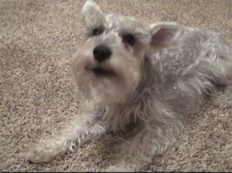 funny miniature schnauzer dog bark youtube