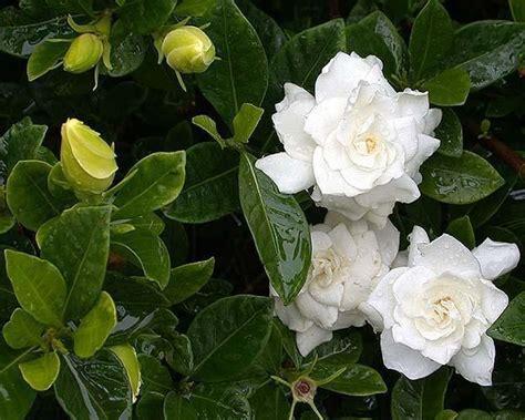 gandharaj gardenia cape jasmine gardenia jasminoides