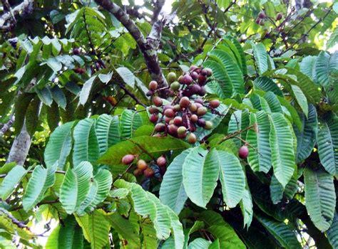 langkah sederhana budidaya matoa  menghasilkan buah