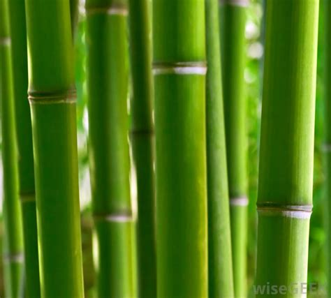 what are the different types of bamboo plants with pictures