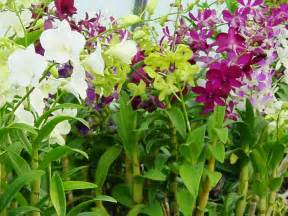 cultivation of dendrobium orchids home gardening ph