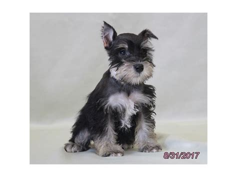 miniature schnauzer puppies ohio miniature schnauzer petland carriage place