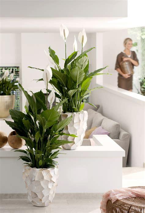 skandinavische len le spathiphyllum plante du mois de juin a chaque mois