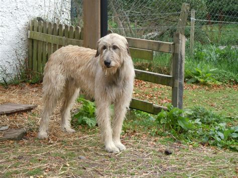 wolfhound puppy beautiful wolfhound photo and wallpaper beautiful beautiful wolfhound