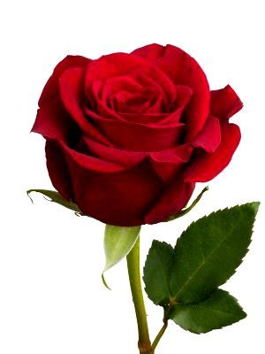 gambar setangkai bunga mawar gambar top