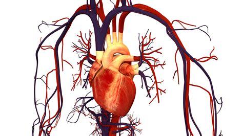 and human human and circulatory system