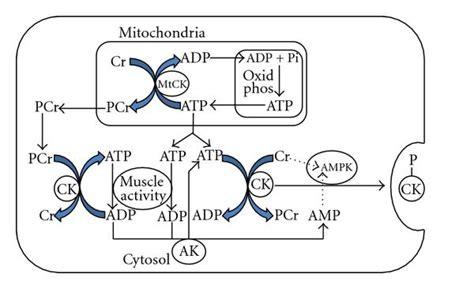 creatine kinase function creatine kinase and exercise related damage