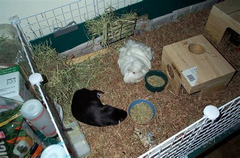 newspaper bedding how to clean your guinea pig cage cleaning tips