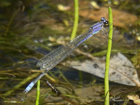 State Of Az Records Neotropical Bluet Arizona Dragonflies