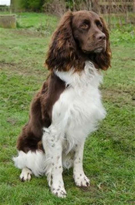 french setter dog breed 1000 images about french spaniel on pinterest spaniel