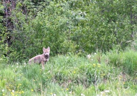 running room grande prairie we drove onto a lease site and 4 wolf pups started running away one was black but he was t