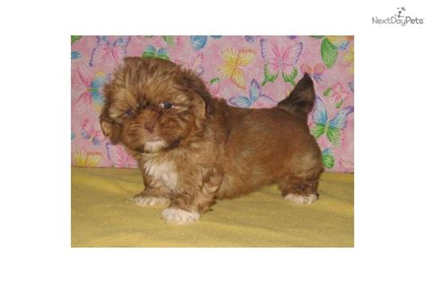 shih tzu puppies for sale in mcallen tx shih tzu puppy for sale near mcallen edinburg 6445ec37 9361