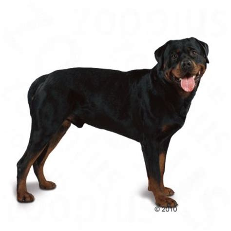 royal canin rottweiler royal canin breed rottweiler hondenvoer zooplus nl