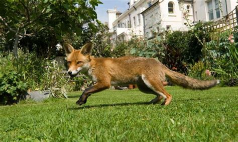 urban foxes  facts   fiction uk news