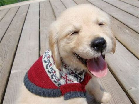 puppies in sweaters 23 dogs in sweaters that will make you want to snuggle pupcraze