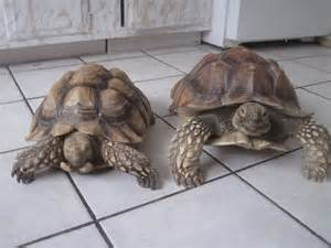 Abdow and hercules our sulcata dynamic duo