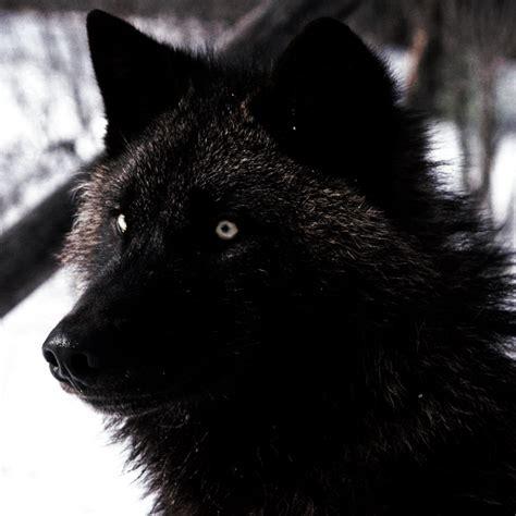 imagenes de negro lobo imagenes de lobo negro imagui