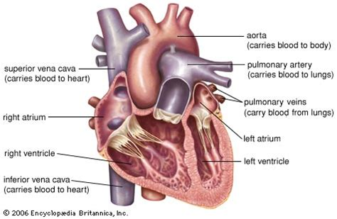 longitudinal section of the human heart heart anatomy britannica com