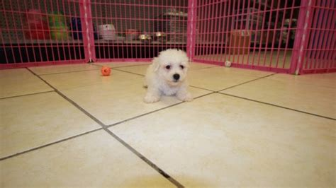 bichon frise puppies for sale in ga beautiful bichon frise puppies for sale in atlanta ga at puppies for sale local