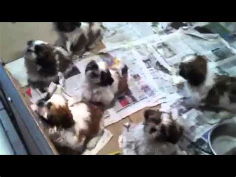 shih tzu for sale dubai shih tzu puppies in dubai for sale 050 4196464
