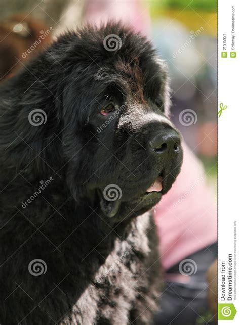 newfoundland puppies oregon pin landseer newfoundland puppies oregon on