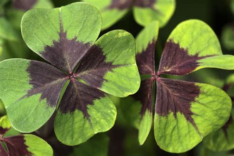 three leaf clover plant that four leaf clover you found may not be a four leaf clover