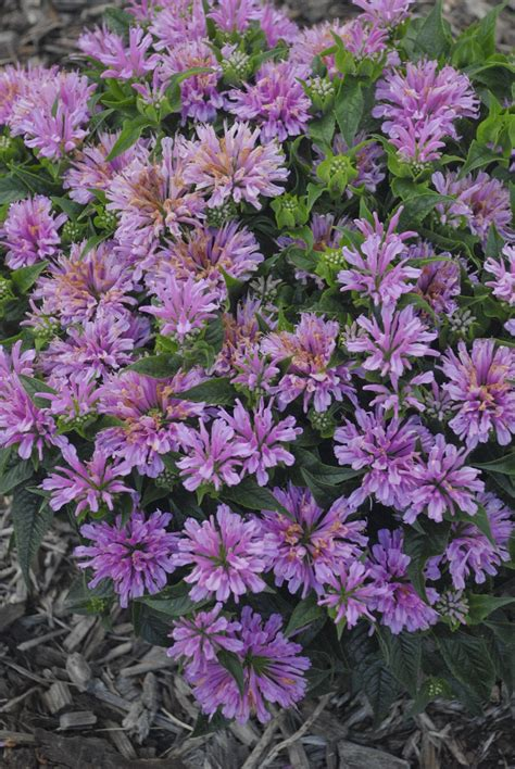 Lavender Balm pardon my lavender bee balm monarda didyma proven winners